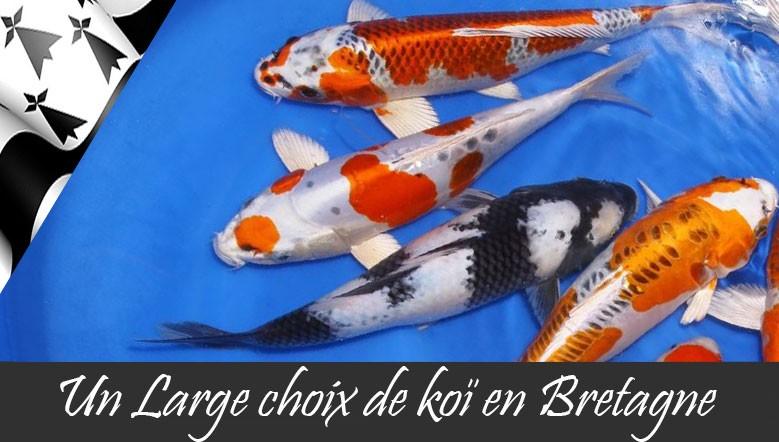 Exigez le meilleur, le koï Japon reste l'élite du poisson de bassin.